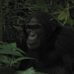 Les chimpanzés ougandais