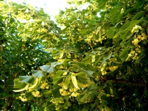 Tilleul en fleur (crédit: supertoinette.com)
