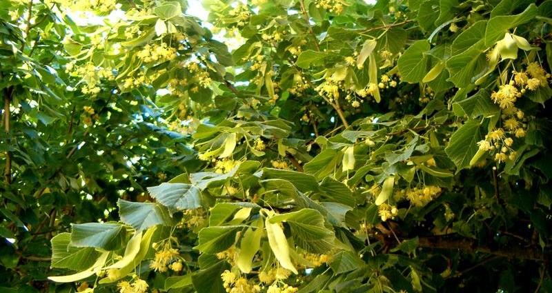 Rhume ou stress? la fleur de tilleul à la rescousse