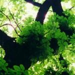 Ecorce de marronnier d'Inde, adieux les hémorroïdes