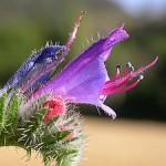 La vipérine, une fleur élégante qui nourrit la peau